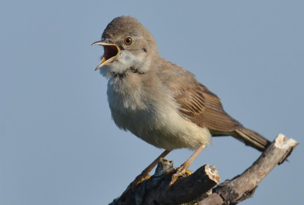 Ihre Zugehörigkeit zur Ordnung der Singvögel...