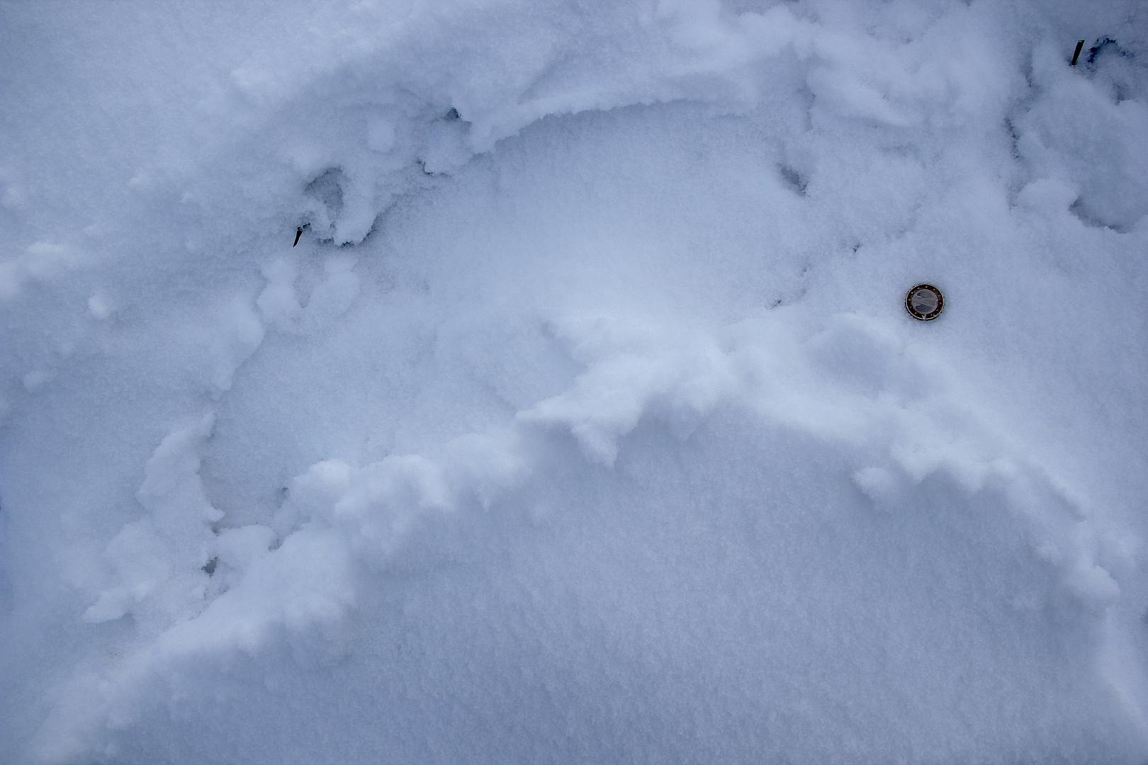 (III) Abdruck der Kelle eines ausgewachsenen Bibers im Schnee