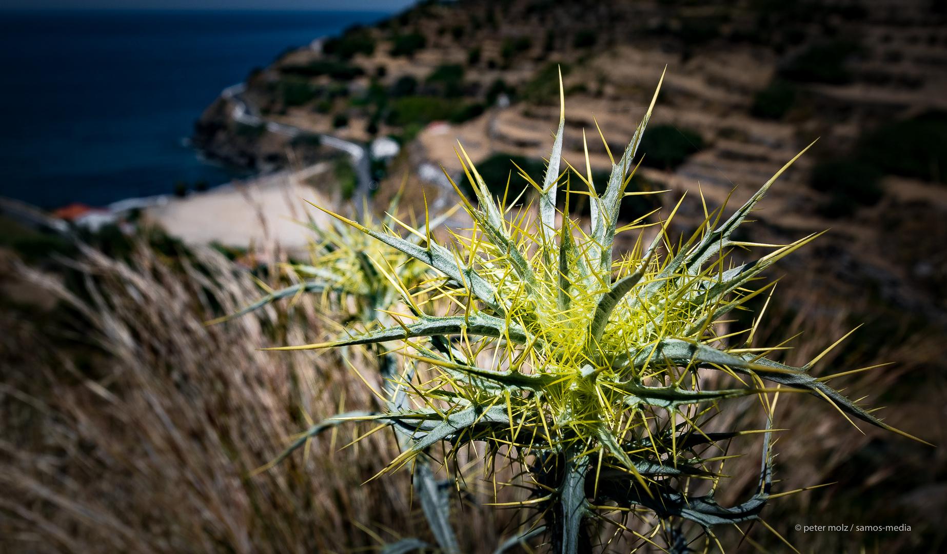 Ikaria - Disteln oberhalb Fytema Bucht