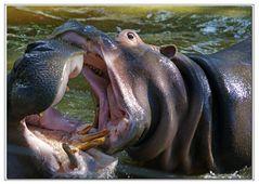 il bacio del ippopotamo....