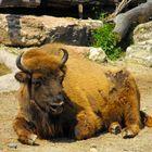 il bufalo