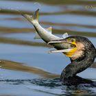 il cormorano e il cefalo !