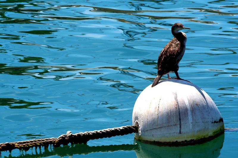 Il cormorano stitico
