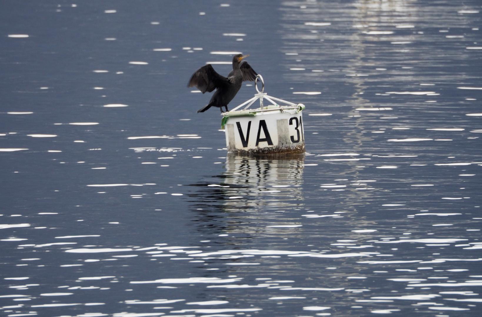 Il cormorano sulla boa