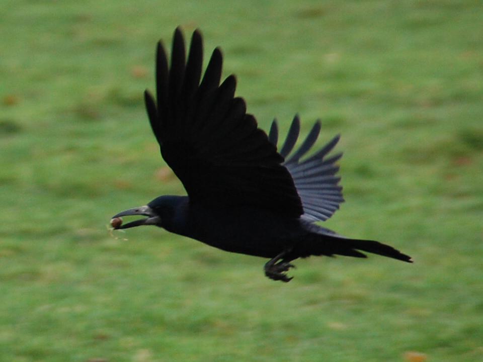 Il corvo...