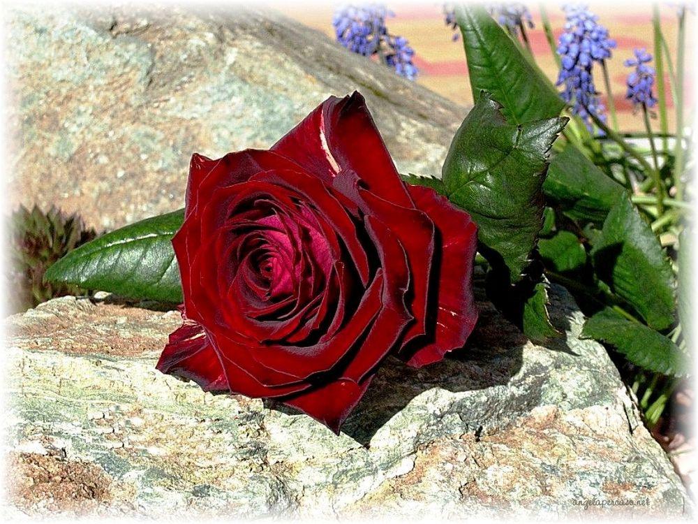 il fioraio mi regalò una rosa