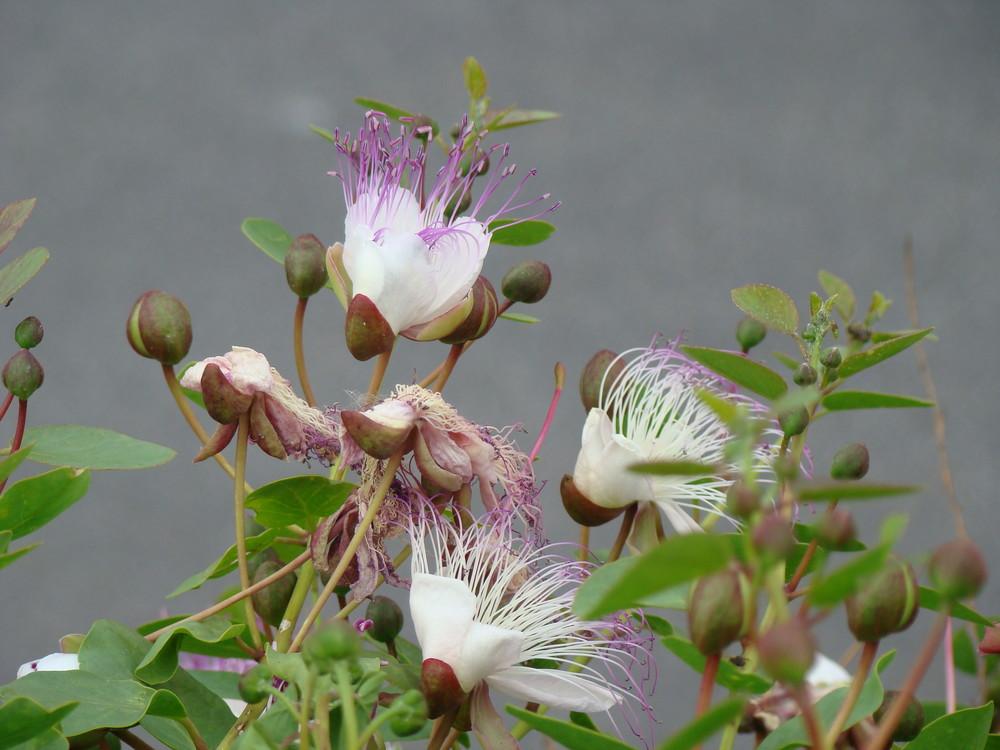 Il fiore del cappero
