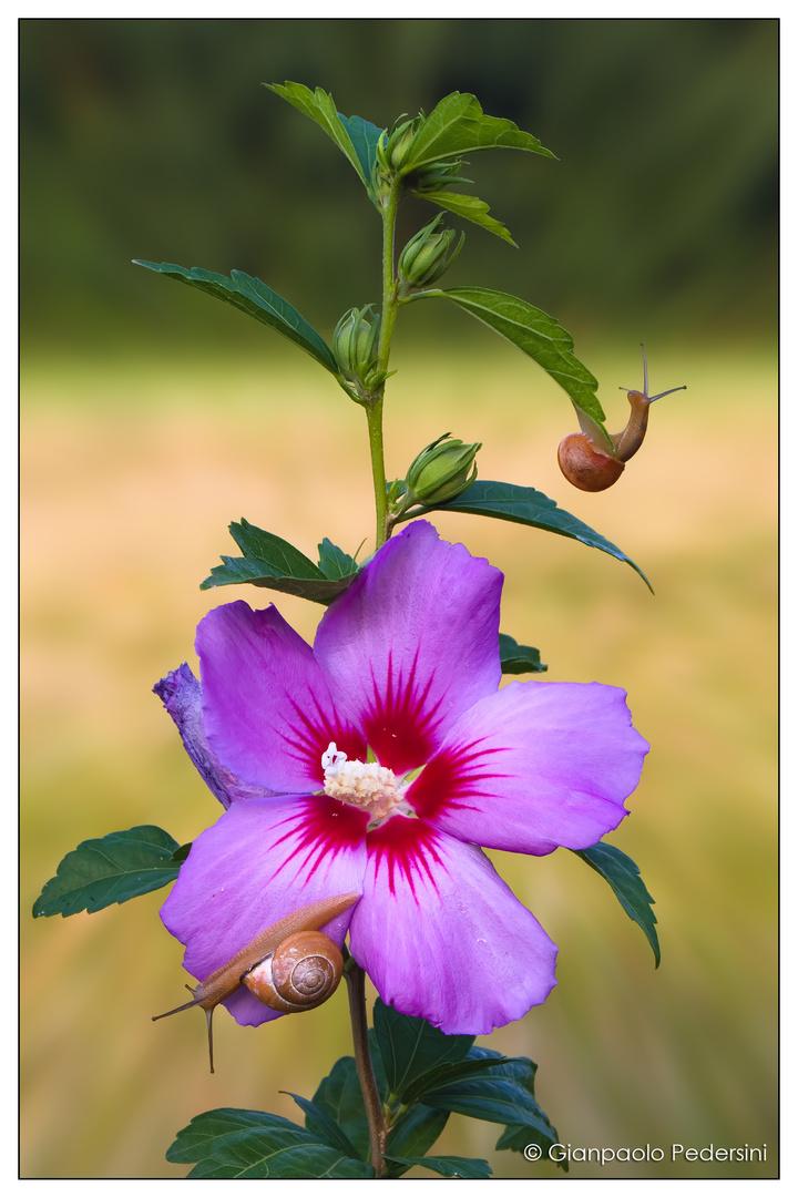 Il fiore delle chiocciole