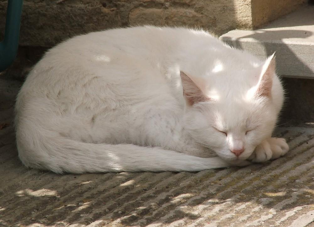 il gatto bianco