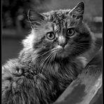 il gatto -bianco nero