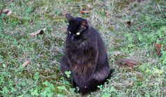 Il gatto nero.