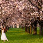 Il giardino dei ciliegi (the cherry orchard)