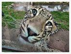 Il leopardo incuriosito....