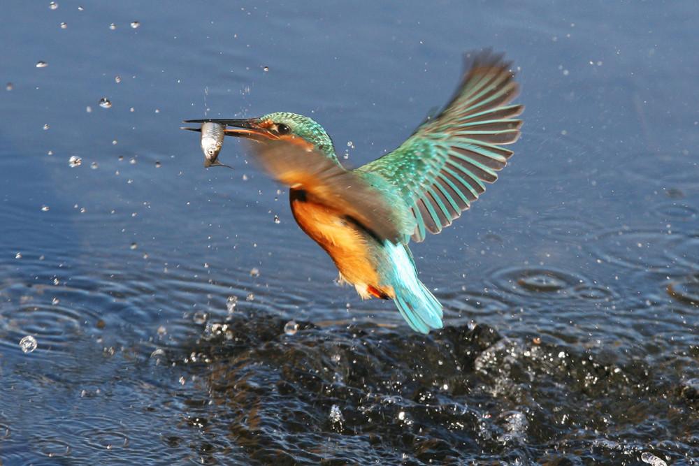 il martin pescatore ha pescato! eisvogel, kingfisher