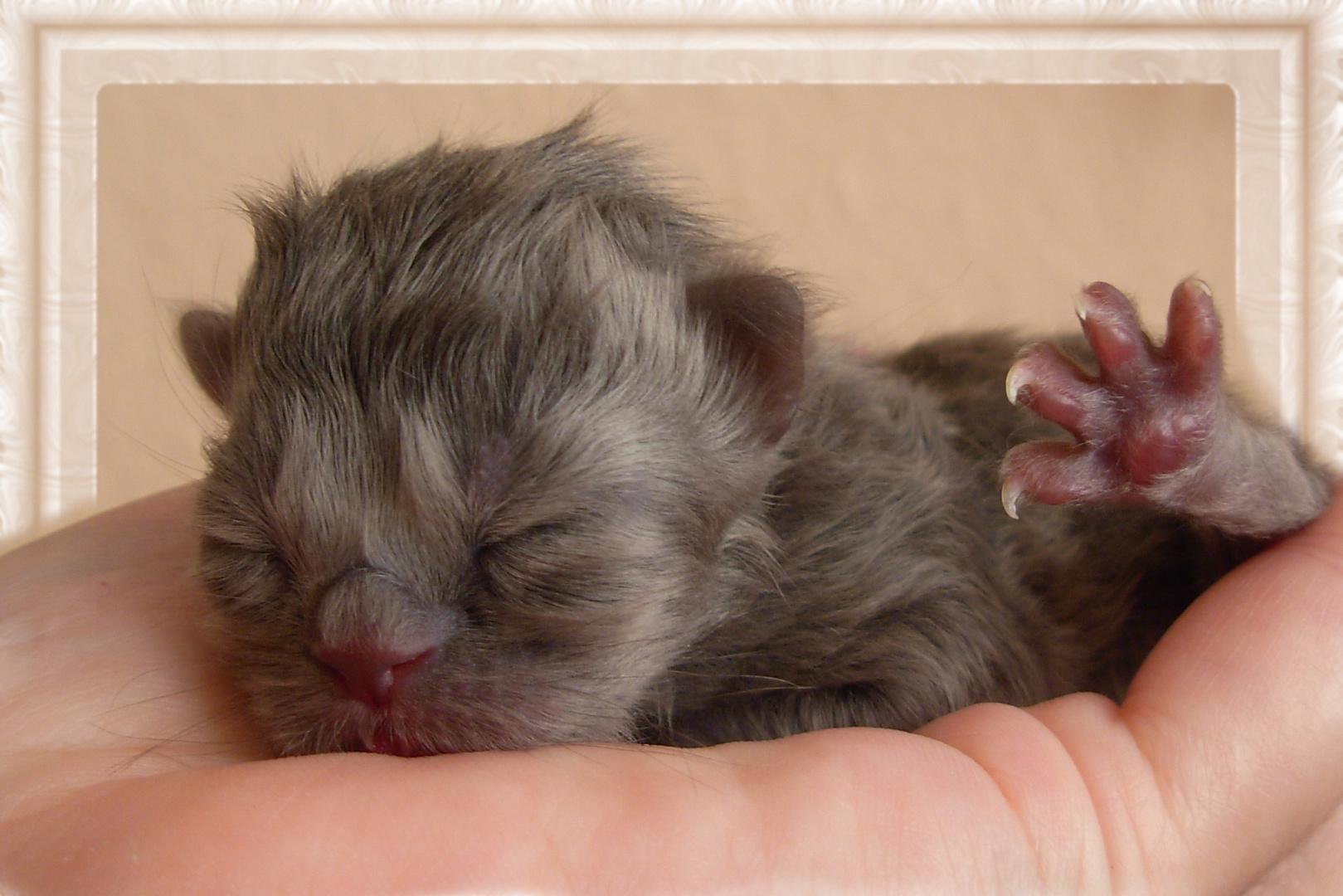 """""""Il mondo nel palmo della mano"""".Un gattino di colore di un topolino"""