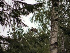 Il nido del falco pescatore