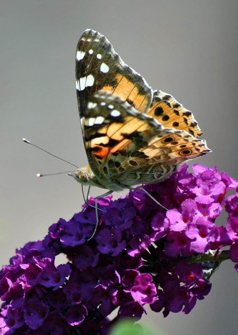 il paradiso delle farfalle