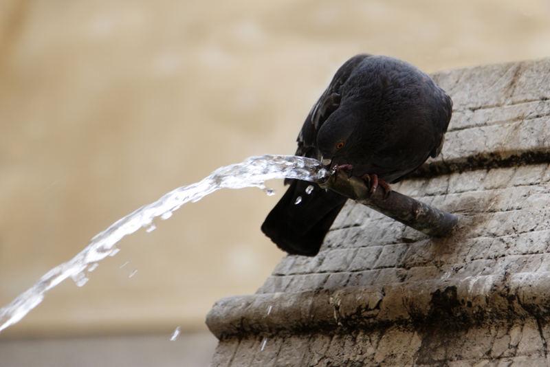 Il piccione assetato...