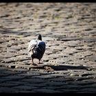 Il piccione solitario