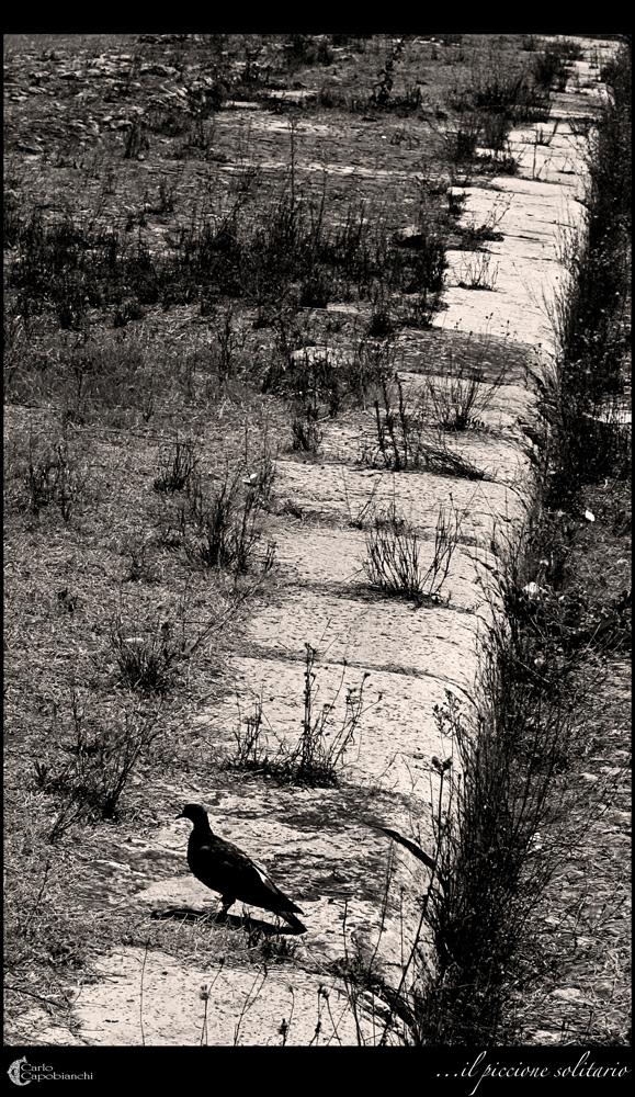 ...il piccione solitario