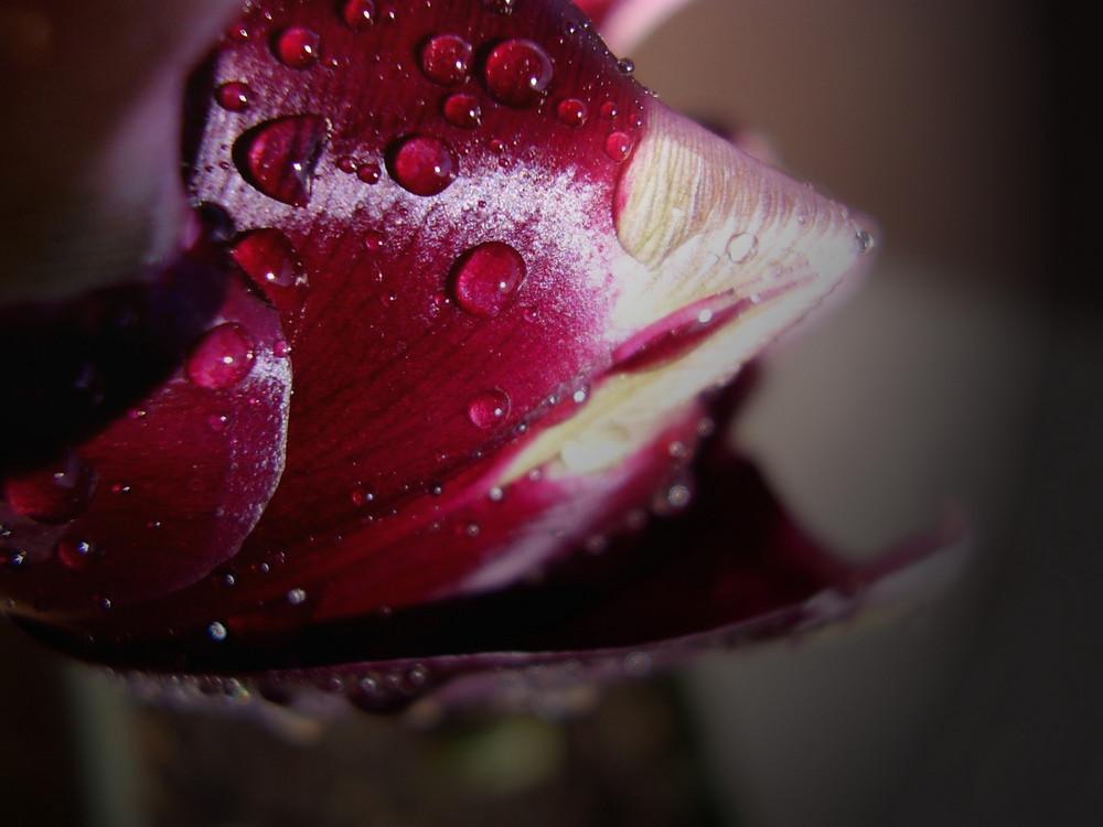 il primo tulipano della stagione