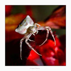il ragno bianco