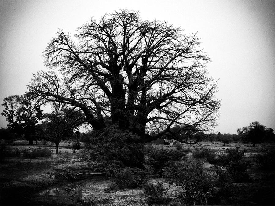 il re degli alberi
