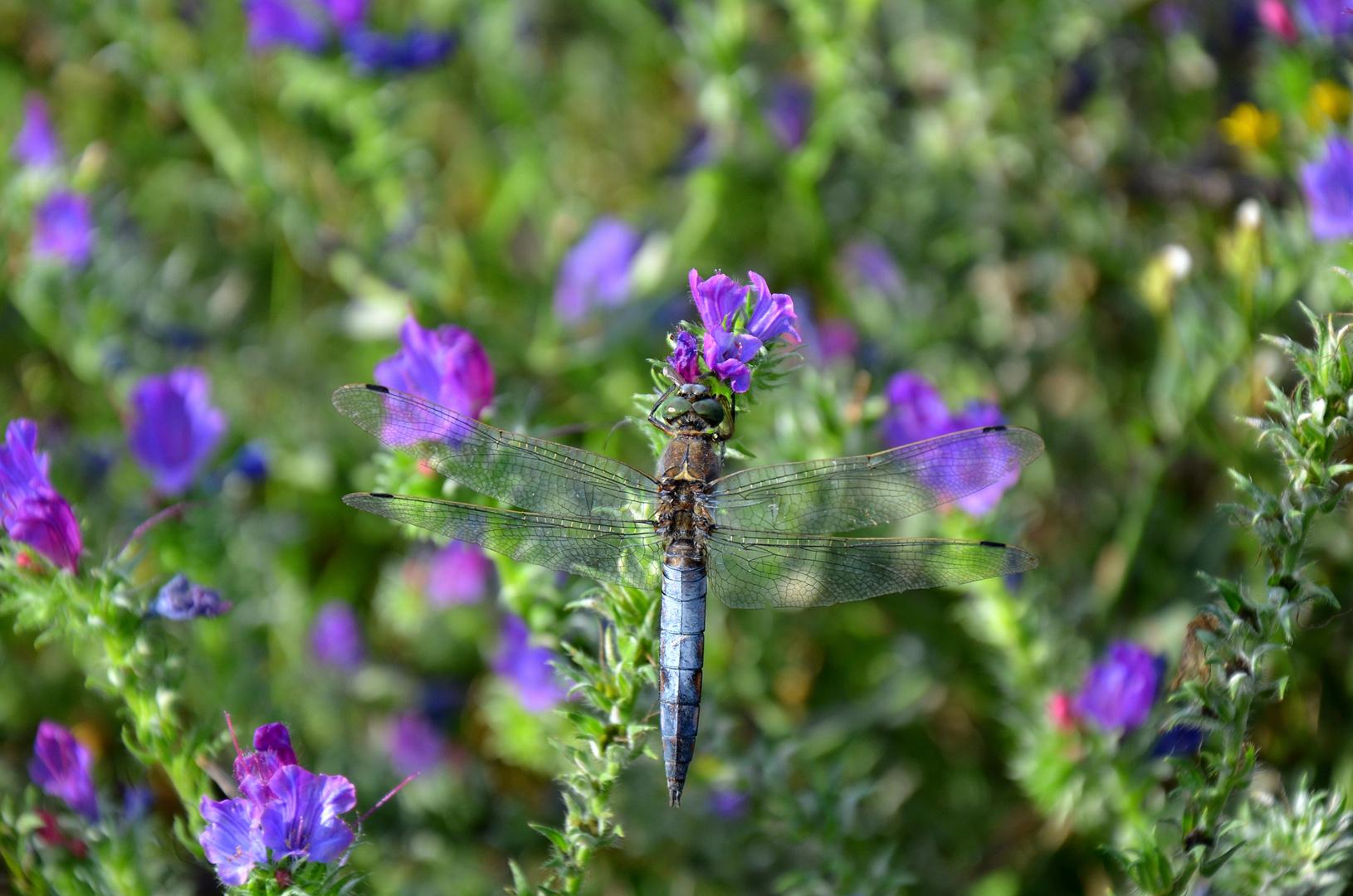 Il segno della libellula