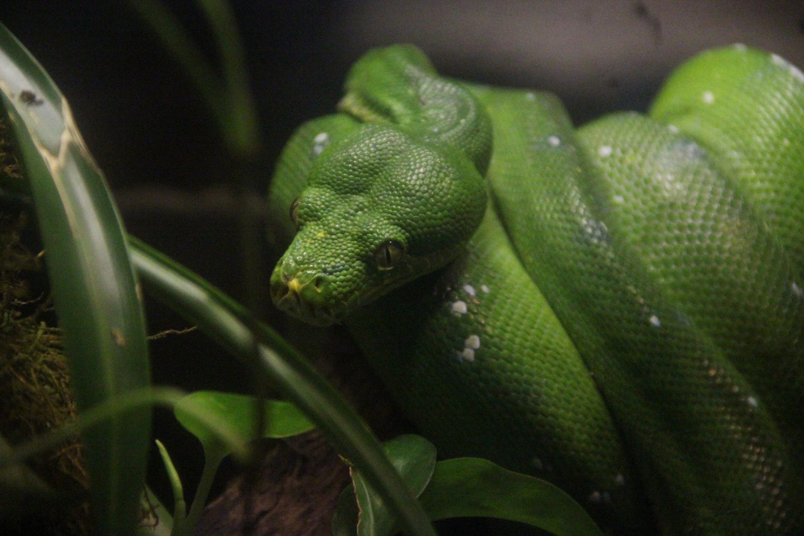Il sempre verde - serpente
