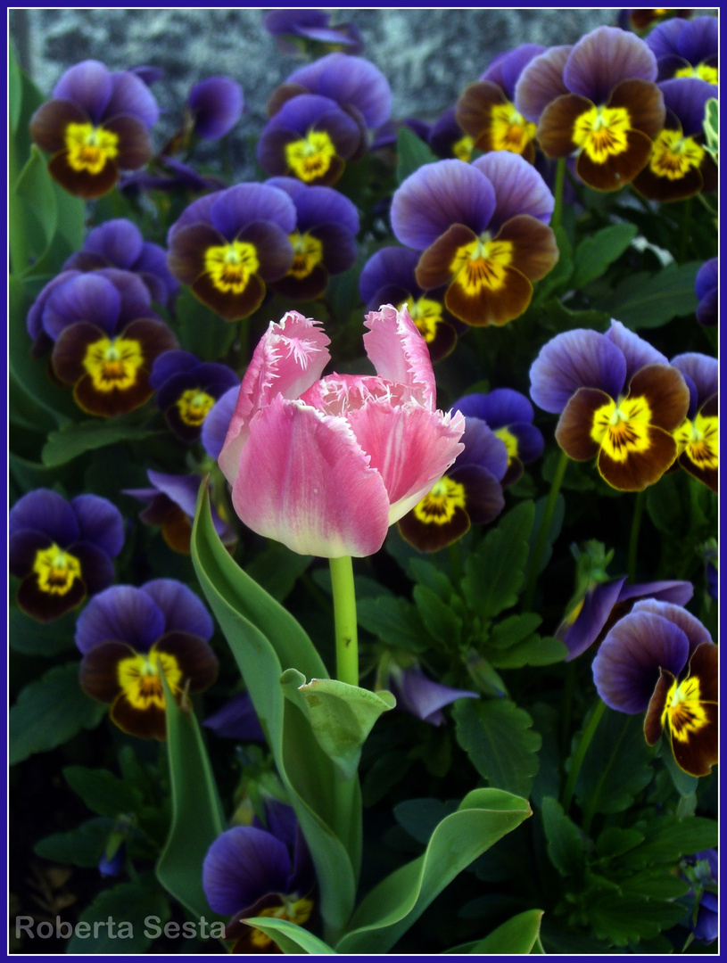 Il tulipano tra le violette - Ammirazione...?