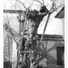 il Vecchio Grande Albero Centenario