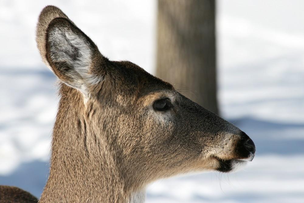 Illinois White Tail Deer 6