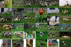 Ilses Hühner und Gänseparadies