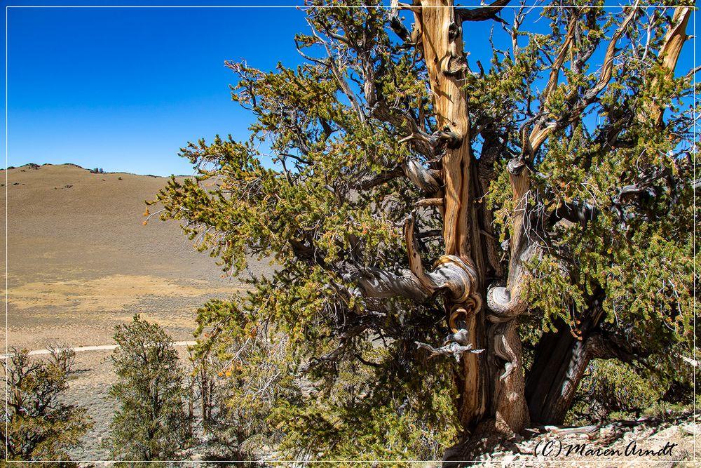 Im Ancient Bristlecone Pine Forrest