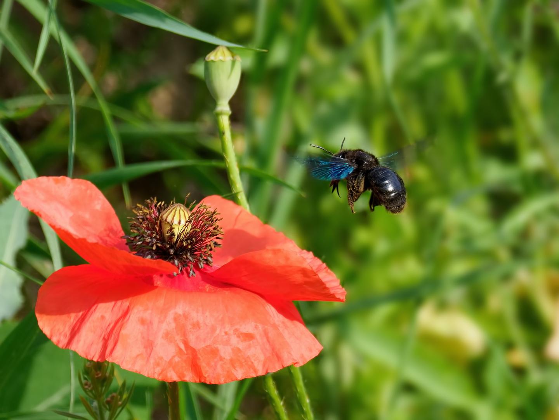 Im Anflug - Große Holzbiene