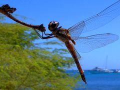 Im Anflug - Libelle