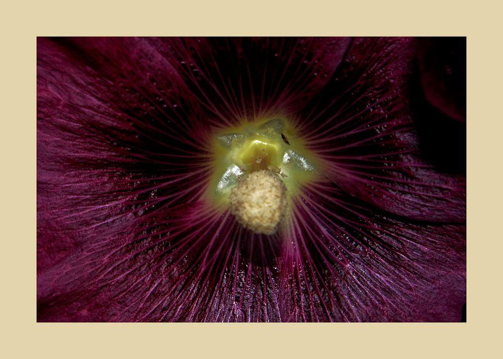 Im Auge des Hibiskus
