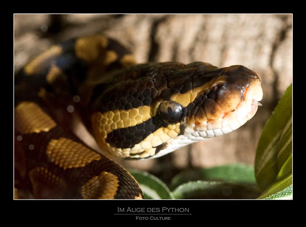 Im Auge des Python