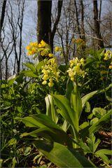 Im Biotop vom Blassen Knabenkraut (Orchis pallens)