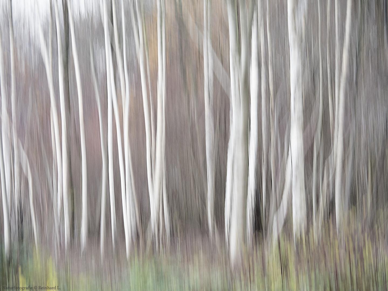 Im Birkenwäldchen