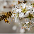 Im Blütenrausch