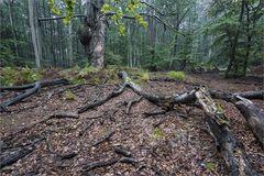 Im Darsswald..
