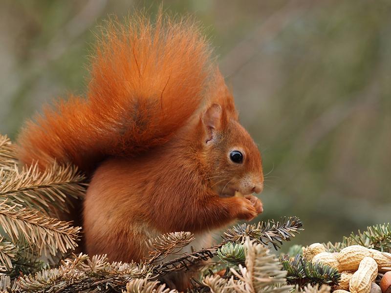 Im Eichhörnchenparadies