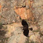 Im Fels: Iberischer Kaiseradler