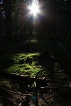 im Fichtenwald...
