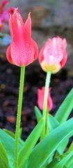 Im Frühtau zu Tulpen wir sehn falldera...
