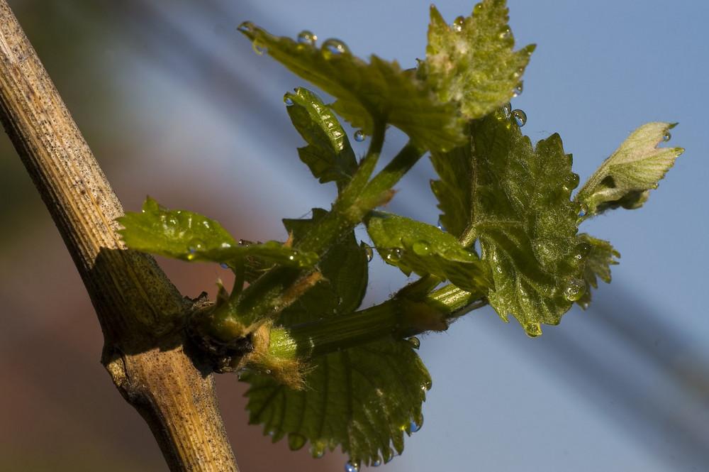 Im Garten - Weinreben im Morgentau 1