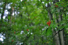 Im Heidelbeer-Kiefernwald