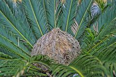 im Herzen des Palmfarnes