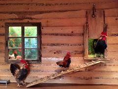 Im Hühnerstall ...